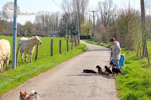 Socialisation-divers-village-animaux-aprentissage-laisse-chiots-elevage-CKK