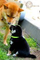 Chiot-communication-shiba-inu-code-canin-socialisation-CKK-education