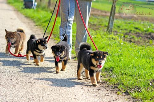 balade-chiots-puppies-Chuken-Kiku-Kensha-shiba-inu-elevage