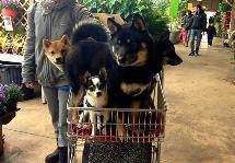 Comment-bien-socialiser-son-chiot-Promenade-socialisation-ville-lieu-public-chiot-chien