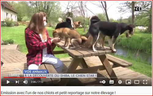 emission-C8-Sandrine-elevage-shiba-inu-Chuken-kiku-kensha-Normandie-Eure-William-a-midi-Tsuki-chiot-chien-japonais-race-japonaise-reportage