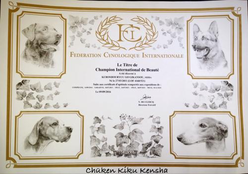 international-champion-Kuro-shouryuu-go-gikansou-male-shiba-inu-black-tan-stud-france-kennel-CKK-elevage-etalon-japan-import-japon-bloodline