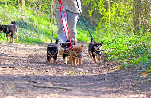 promenade-chiots-puppies-CKK-kennel-shiba-inu-elevage